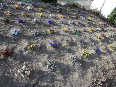 花壇のビオラ
