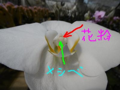 胡蝶蘭の雌しべと花粉