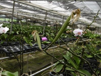 胡蝶蘭の種子