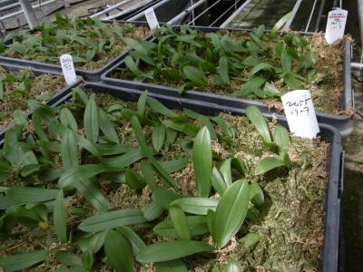 胡蝶蘭幼苗よせ植